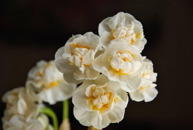 Нарцисс - фото, посадка и уход, описание сортов, пересадка, выгонка в домашних условиях