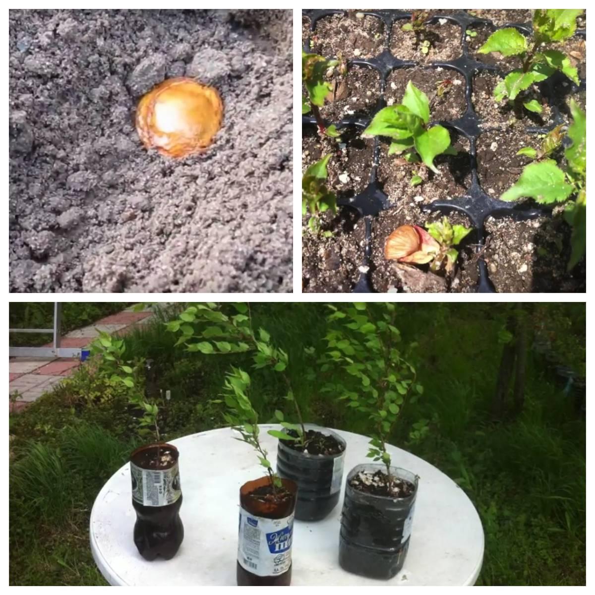 Как вырастить абрикос из косточки: советы садоводам