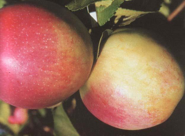 Яблоня строевское: описание, фото, отзывы