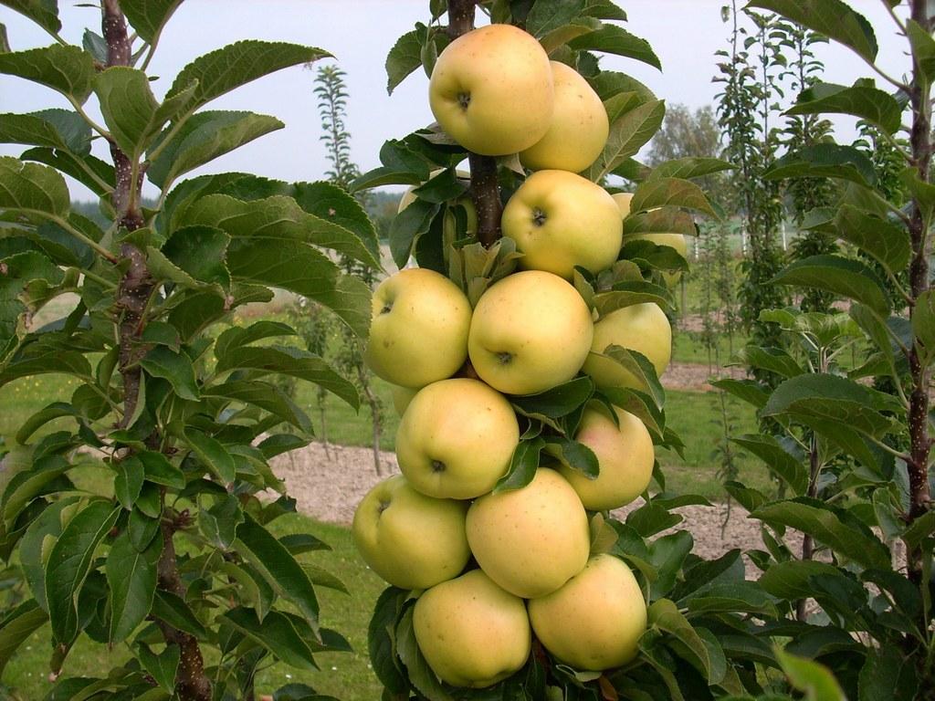 Летние сорта яблонь для подмосковья: фото и описание лучших из них