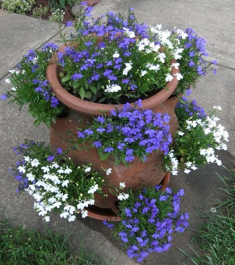 Лобелия - выращивание из семян, посадка и уход, высадка в саду