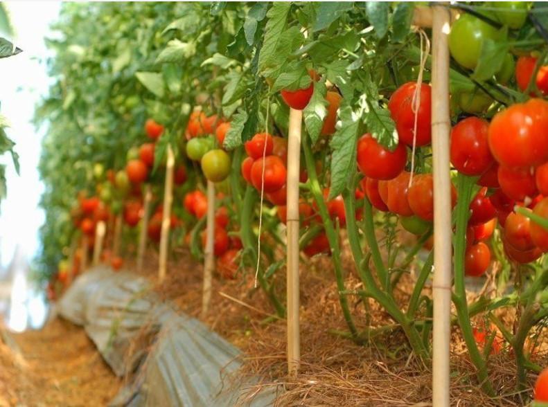 Описание штамбовых сортов томата: их особенности и фото