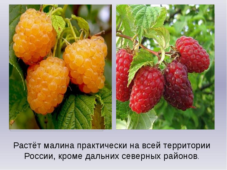 Полезные свойства желтой малины, выращивание на дачном участке