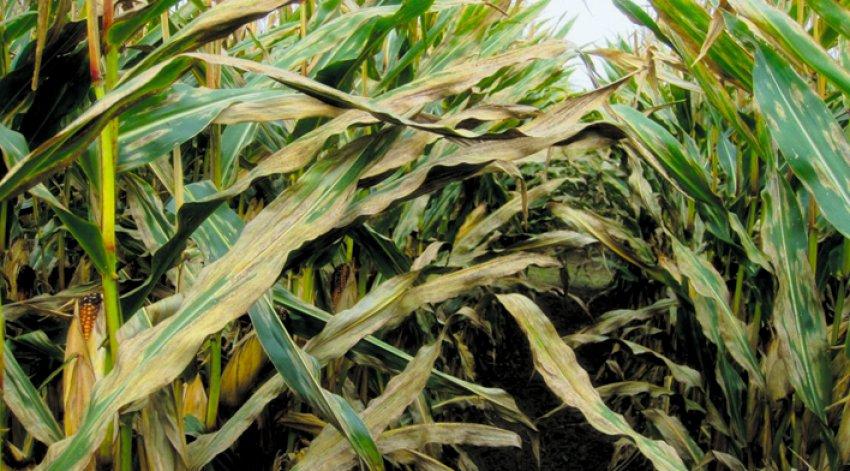 Болезни кукурузы и вредители: описание и лечение, меры борьбы с ними, фото