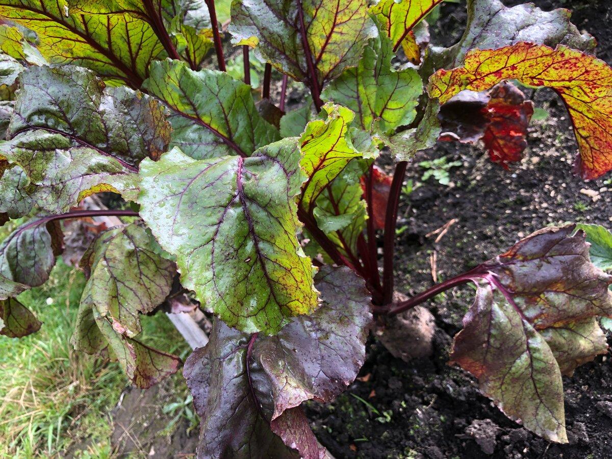 Листья у свеклы: почему желтеют, краснеют, скручиваются, вянут, сохнут, определение болезней, вредителей, борьба с ними, профилактика