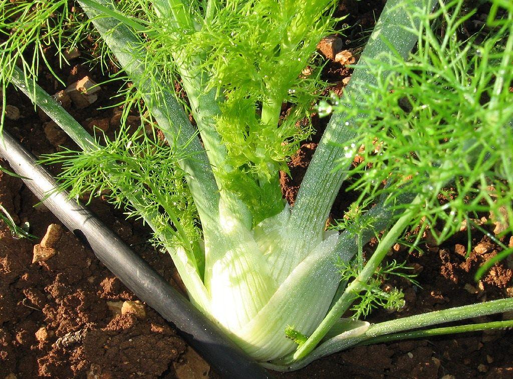 Фенхель выращивание из семян на садовом участке