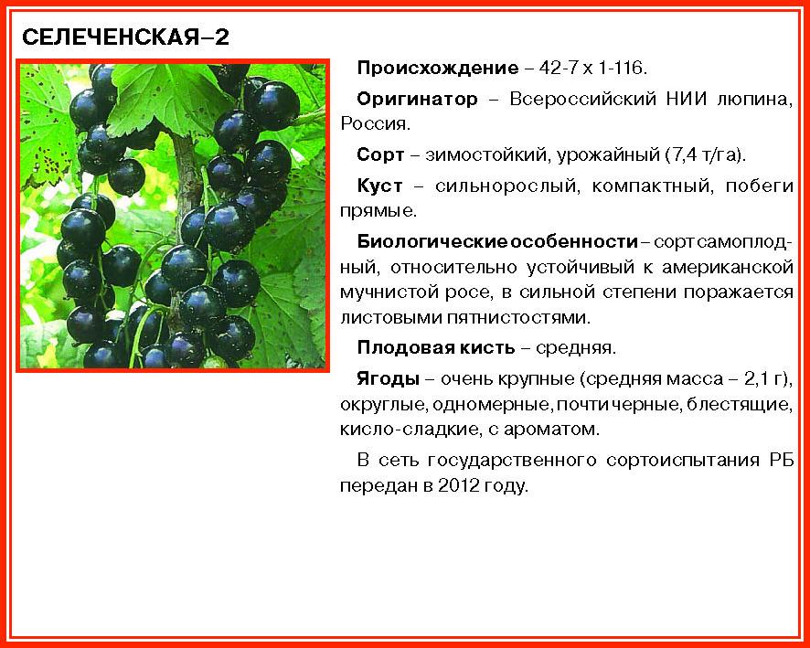 Смородина ядреная: отзывы и фото, характеристика сорта, правила выращивания