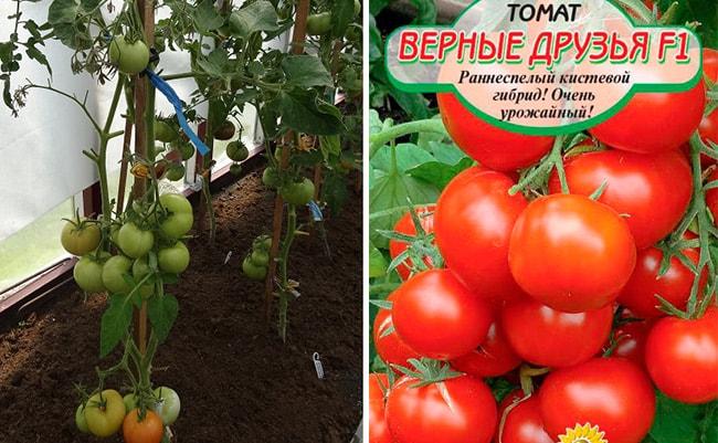 15 лучших сортов помидоров для теплиц