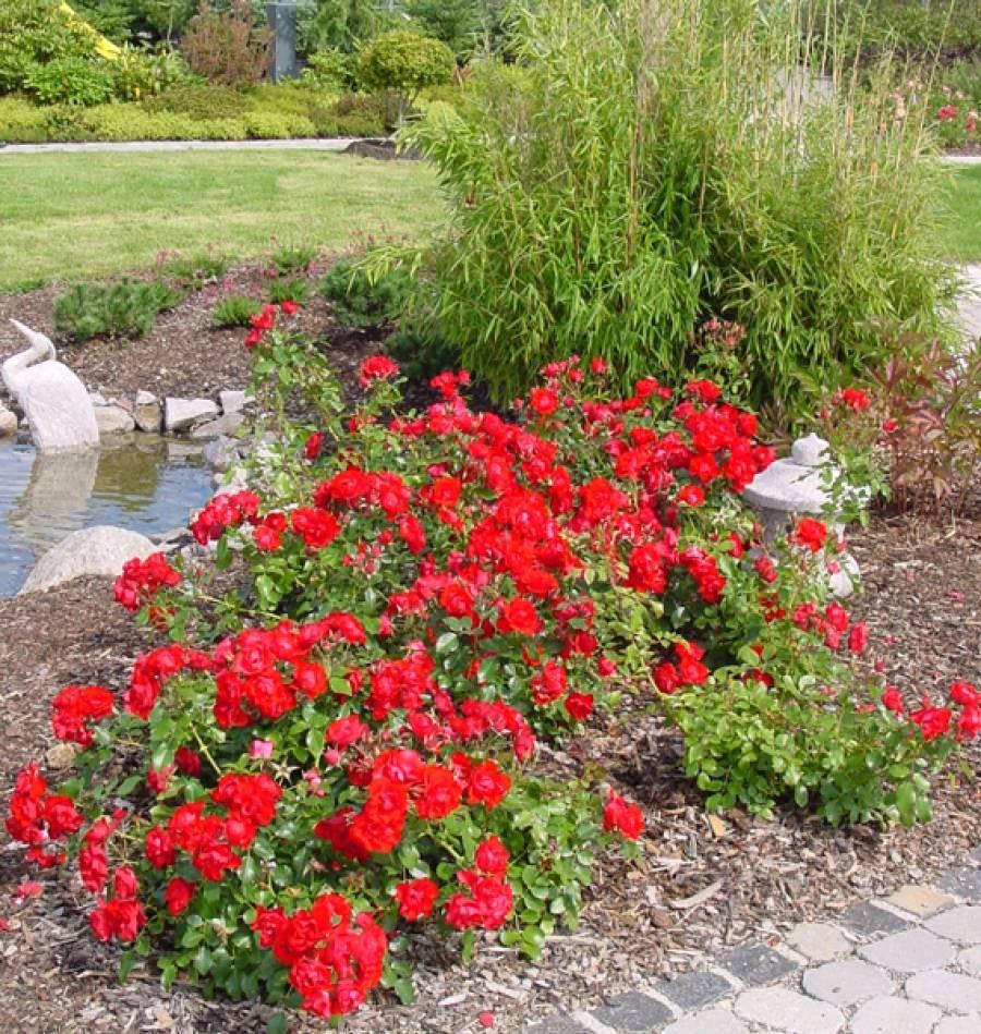 Стелющиеся почвопокровные розы: уход и выращивание неприхотливого роскошного цветка в открытом грунте