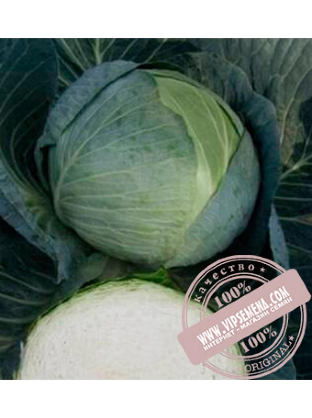 Описание сорта капусты центурион f1 и агротехника выращивания. описание сорта капусты центурион f1, особенности выращивания и ухода