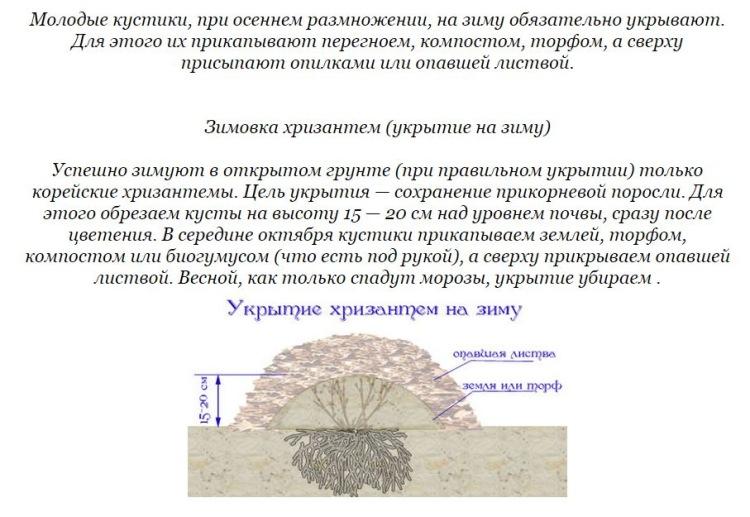 Как сохранить хризантему зимой в открытом грунте по регионам: советы (фото)