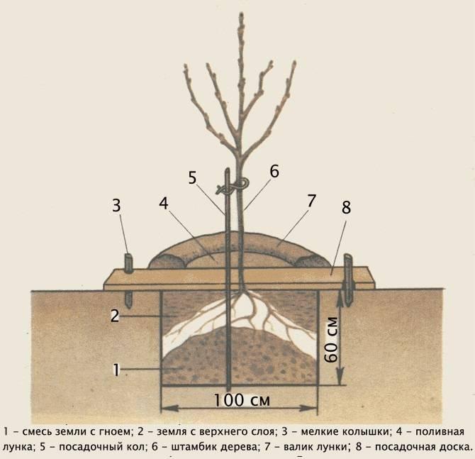 Посадка сливы саженцами весной и осенью: пошаговое руководство