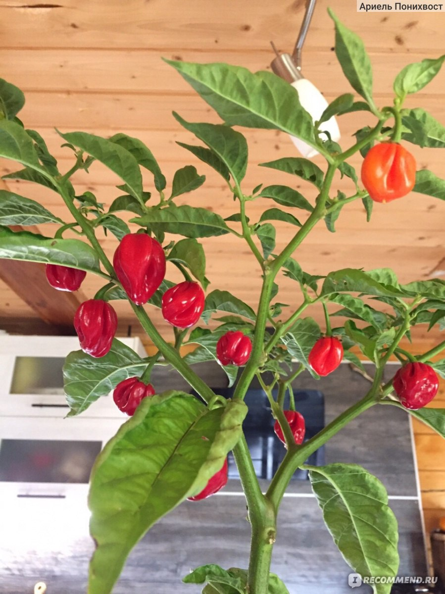 ✅ перец хабанеро - выращивание дома, вкус и острота, отзывы с фото - tehnoyug.com