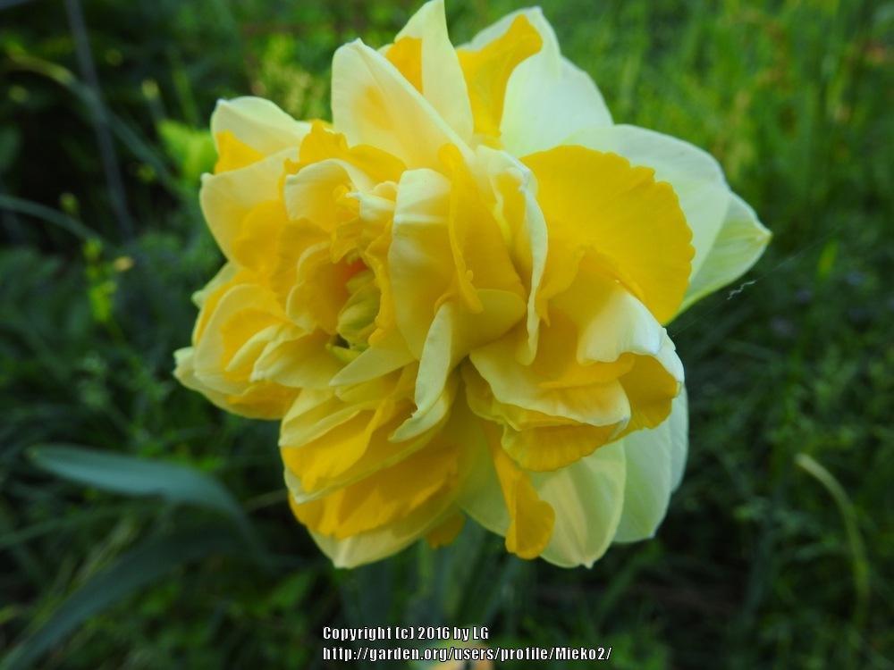 Нарцисс пинк вандер: описание сорта и характеристики, посадка и уход