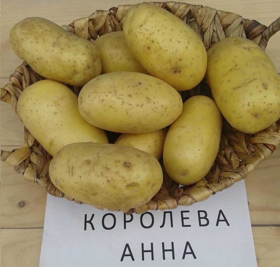 Картофель «гала» - характеристика и описание сорта, агротехника посадки и ухода
