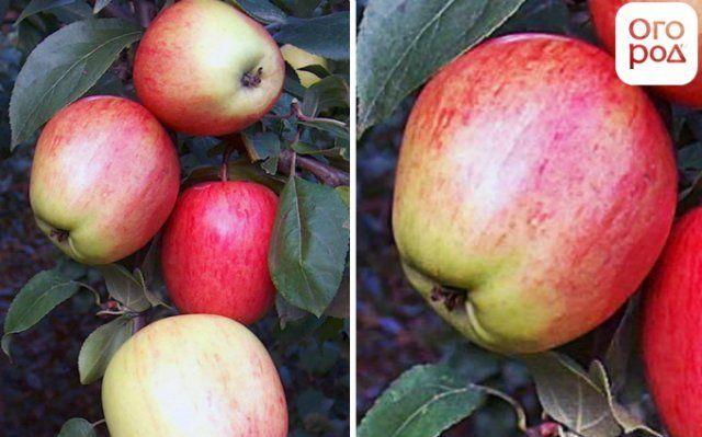 Сорт яблок аркад сахарный описание, фото, отзывы