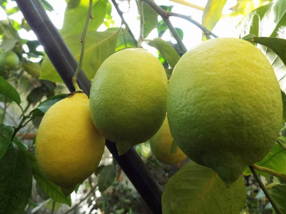 Размножение лимона черенками и выращивание в домашних условиях