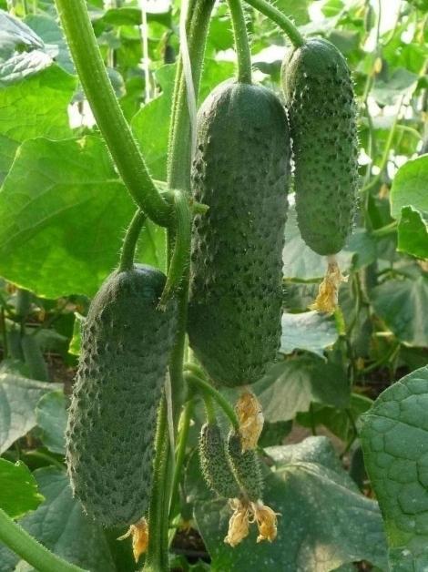 Огурец бьерн f1: описание сорта, отзывы и фото, урожайность