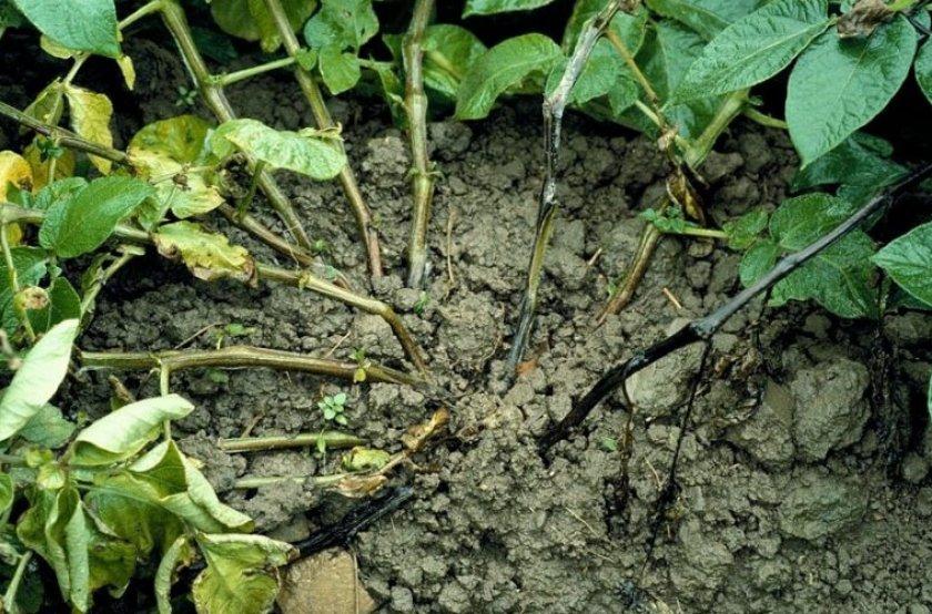 Почему почернела ботва у картошки и что с этим делать? – дачные дела