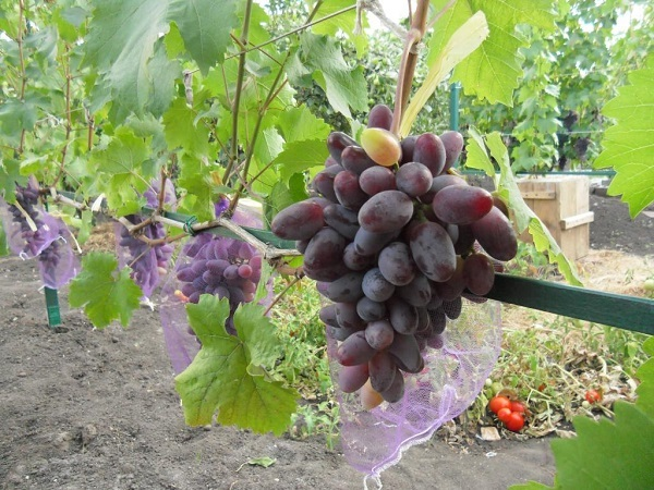 Сорт винограда байконур: описание, фото