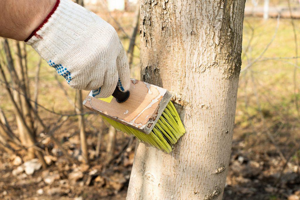 Побелка для деревьев: составы, сроки и технология применения