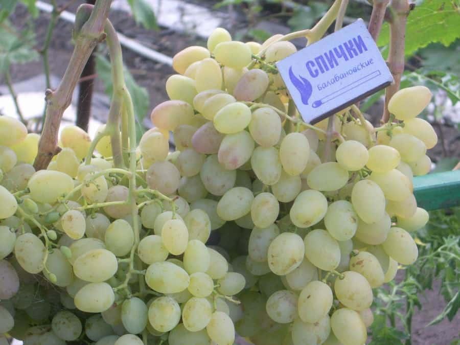 Описание винограда августин