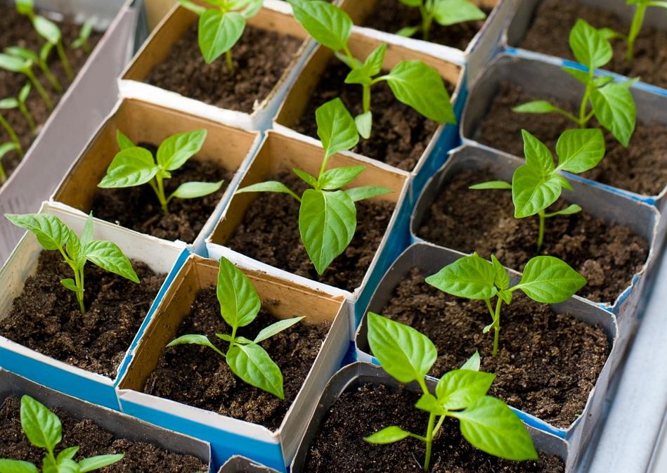 Когда садить перец на рассаду в сибири: сроки посева по лунному календарю, подготовка семян, как сеять, пересадка в открытый грунт русский фермер