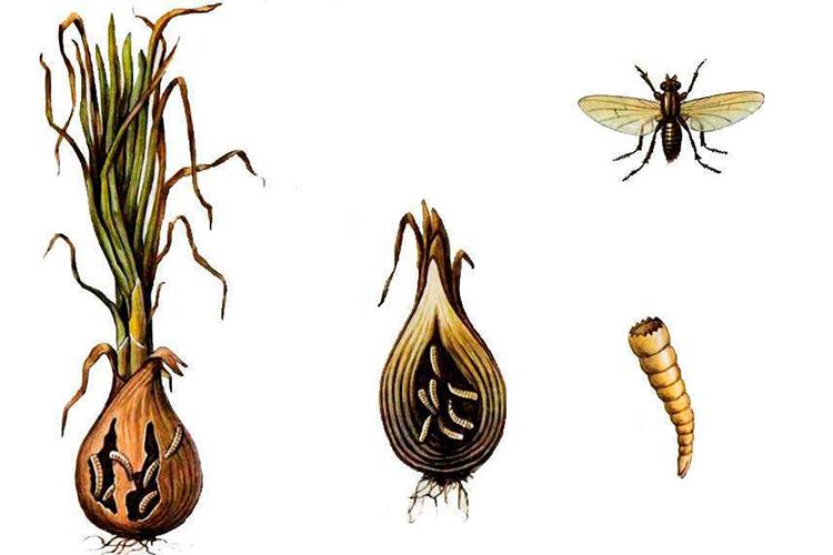 Луковая муха как с ней бороться - огородные дела