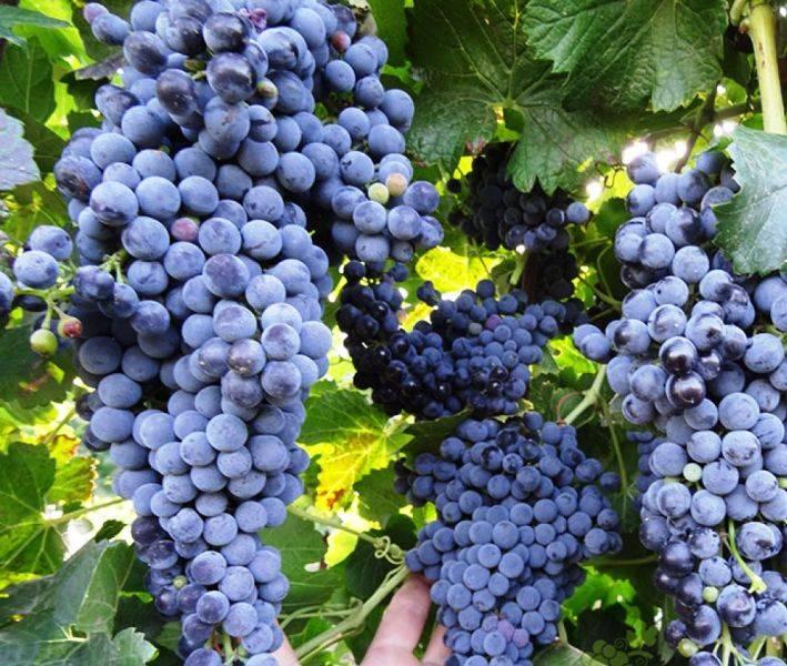 Виноград саперави северный, описание сорта, посадка и уход - деревья и кустарники   описание, советы, отзывы, фото и видео