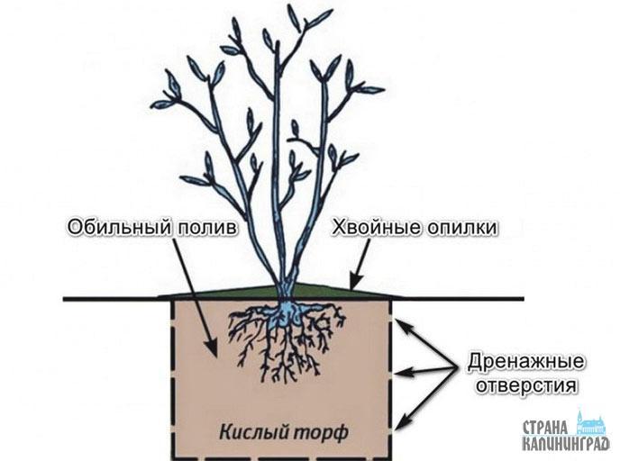 Как размножить голубику: сроки и правила процедуры в домашних условиях