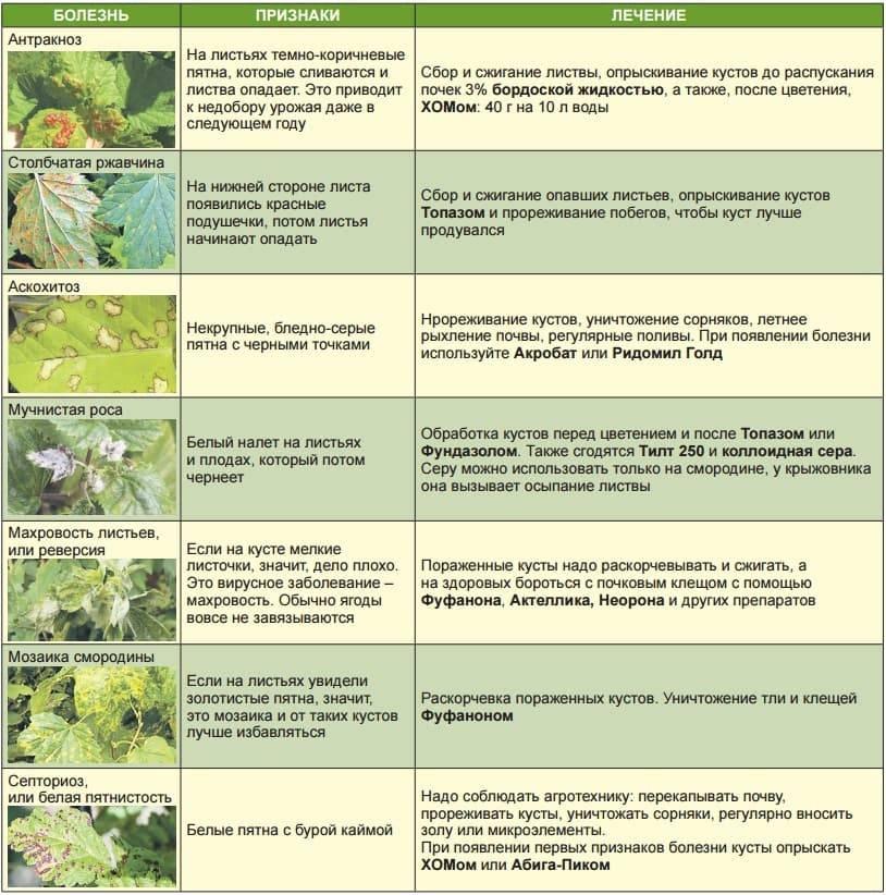 Чем обработать смородину осенью от вредителей и болезней: когда и как опрыскивают кусты