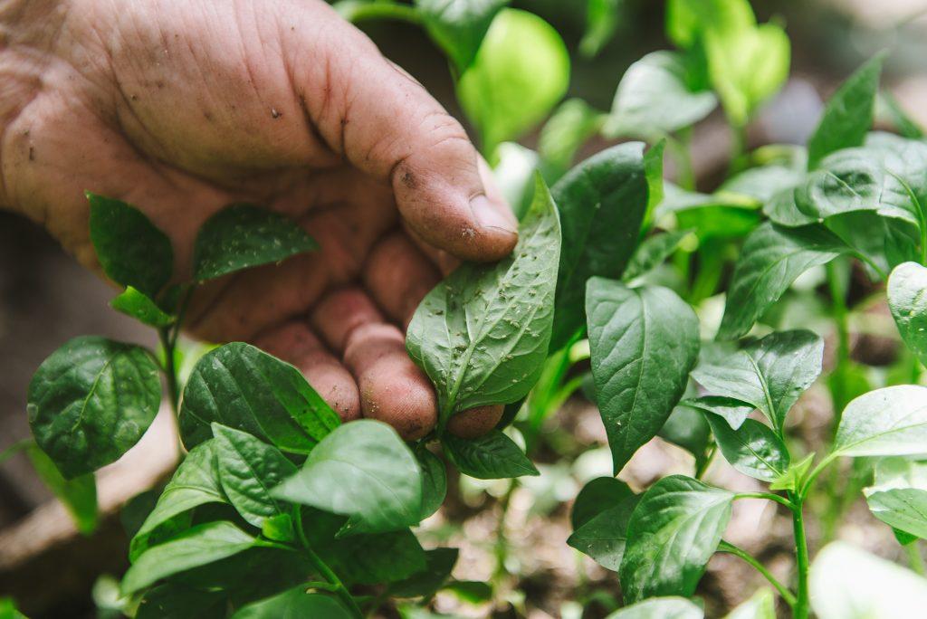 Чёрная ножка: как обезопасить растения от болезни