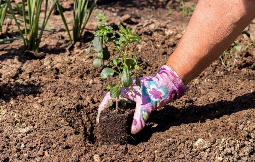 Посадка и уход за агератумом в открытом грунте, выращивание из семян