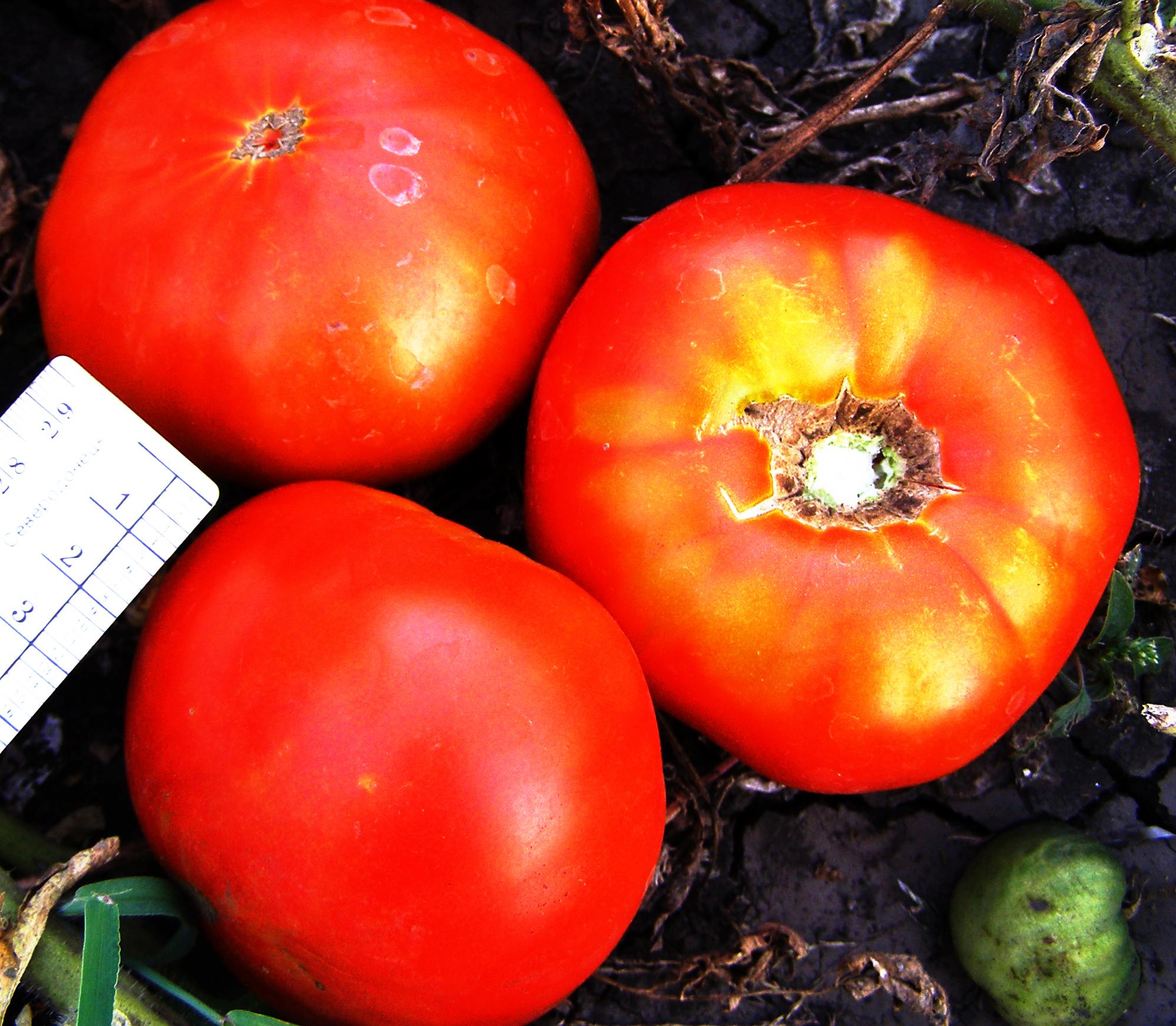 Самые сладкие сорта томатов для открытого грунта / крупные плоды помидоров на кустах