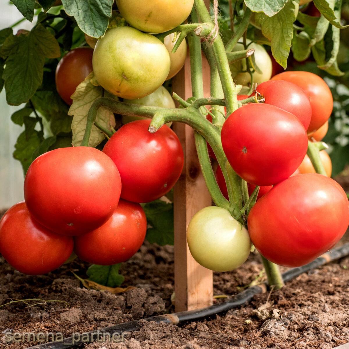 Штамбовые томаты: как вырастить, сорта для открытого грунта