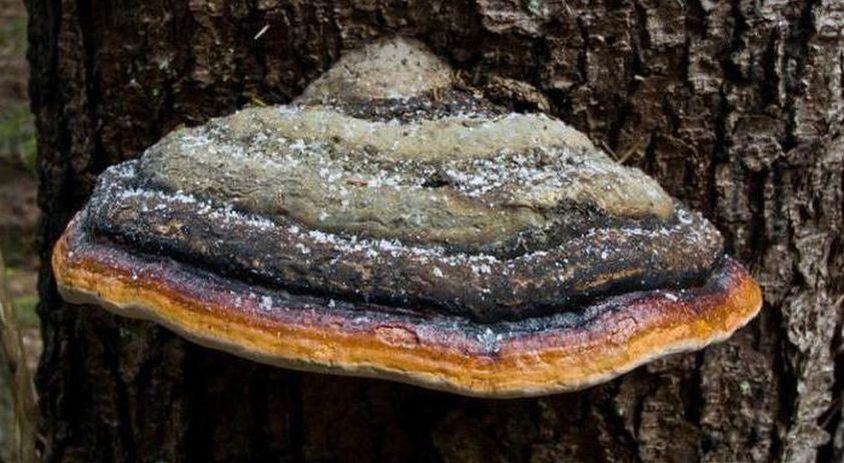 Гриб трутовик: фото и описание видов