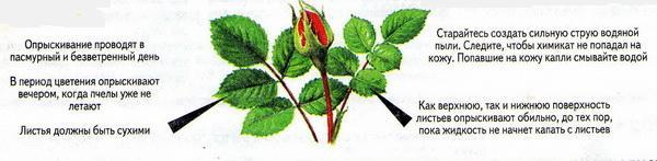 Почему у китайской розы опадают листья и отваливаются нераспустившиеся бутоны и что делать, если растение их сбрасывает?дача эксперт