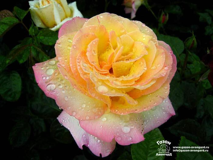 Роза плетистая глория клайминг отзывы