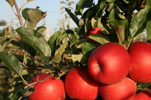 Описание сорта яблони горнист: фото яблок, важные характеристики, урожайность с дерева