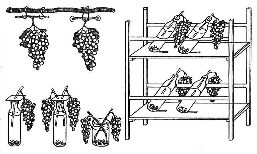 Сроки и способы, как сохранить виноград на зиму в домашних условиях