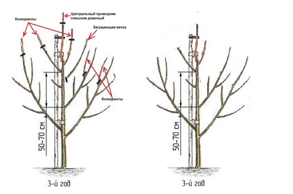 Как обрезать молодую яблоню: инструкция для начинающих - весной, летом, осенью