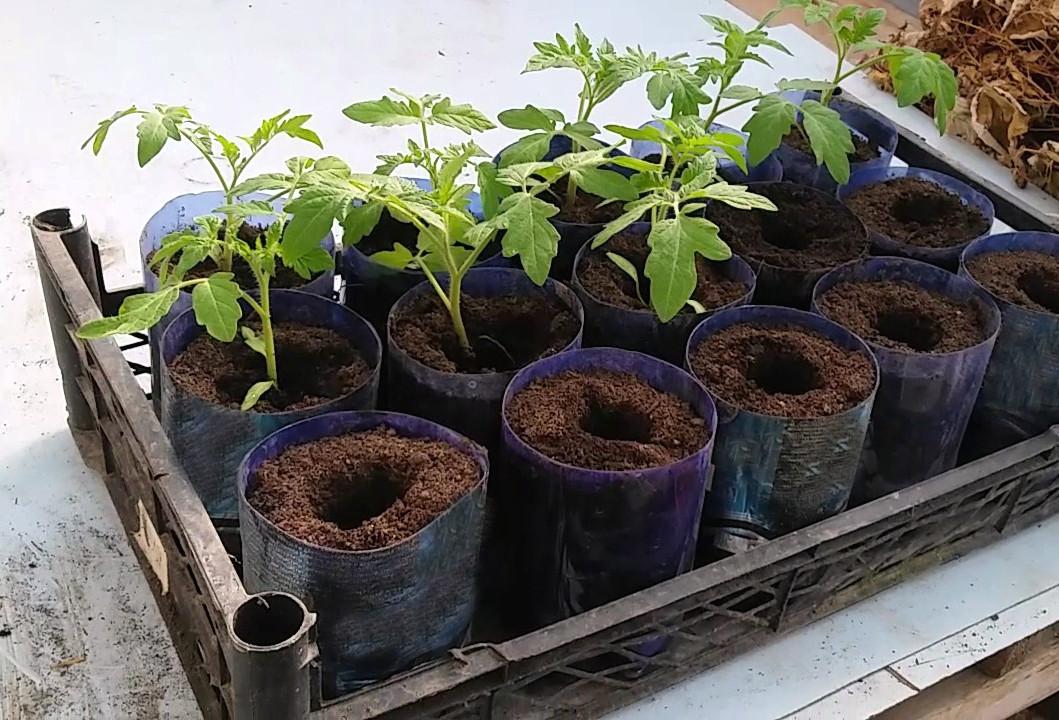 Рассада помидоров без пикировки в домашних условиях: как правильно организовать выращивание томатов, уход за ними и можно ли совершить посев семян в стаканчики? русский фермер
