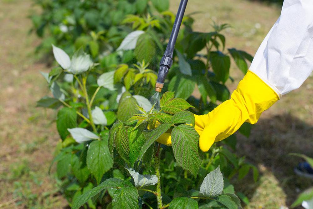 Что делать после сбора урожая малины