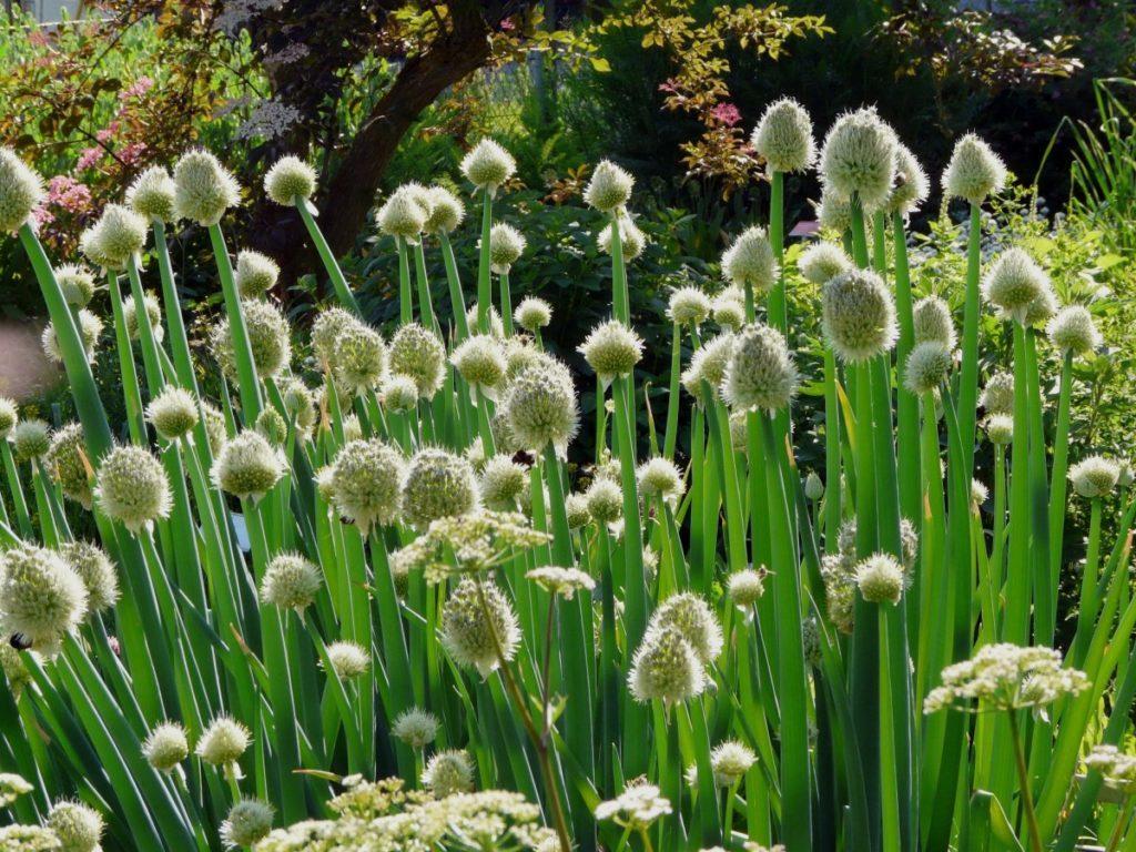 Сорта репчатого лука для длительного хранения: какие семена или севок сажать, чтобы урожай долго не портился зимой и топ лучших видов, которые хорошо лежат