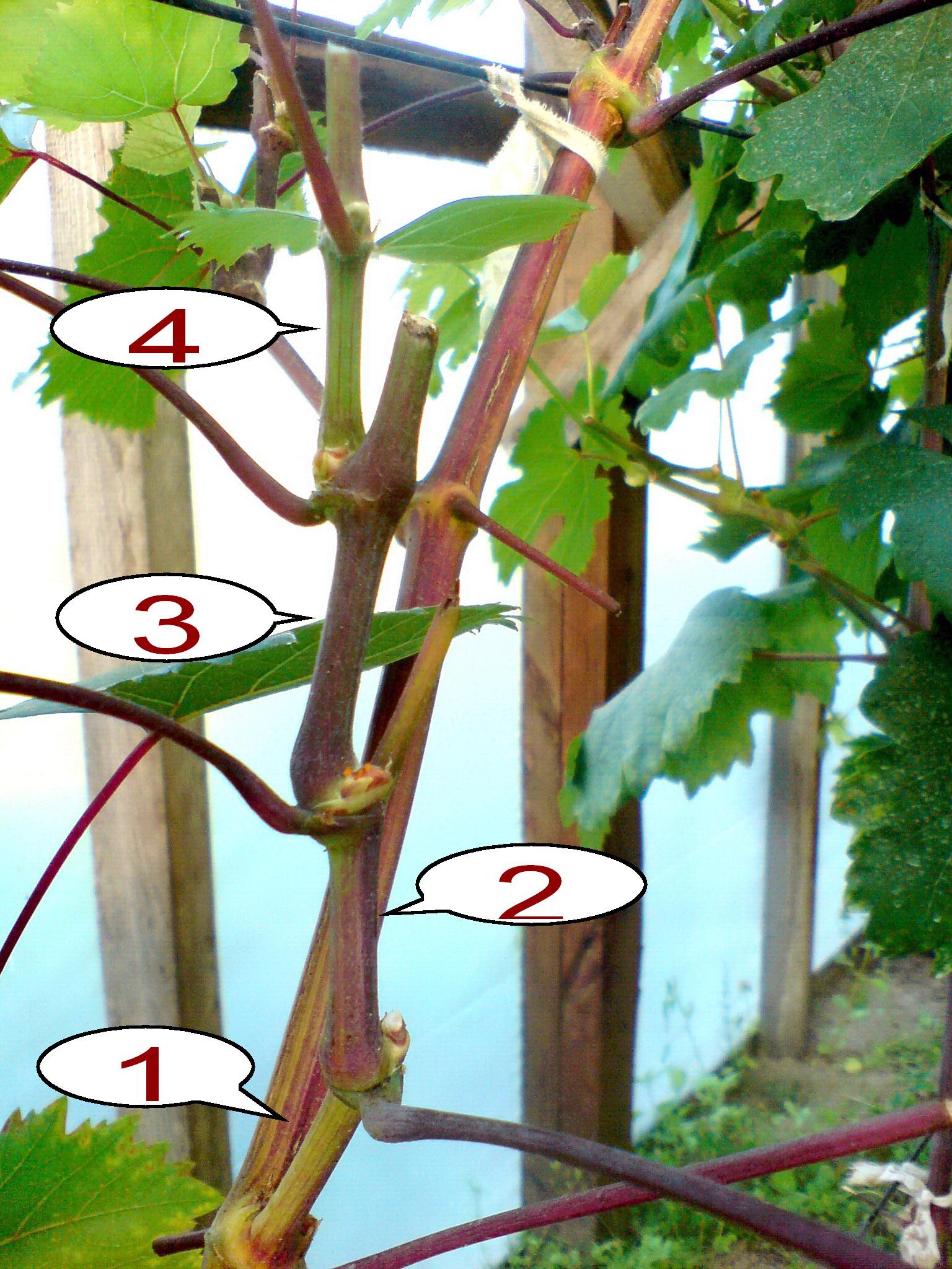 Что делать, если виноград плохо растет и чего не хватает растению
