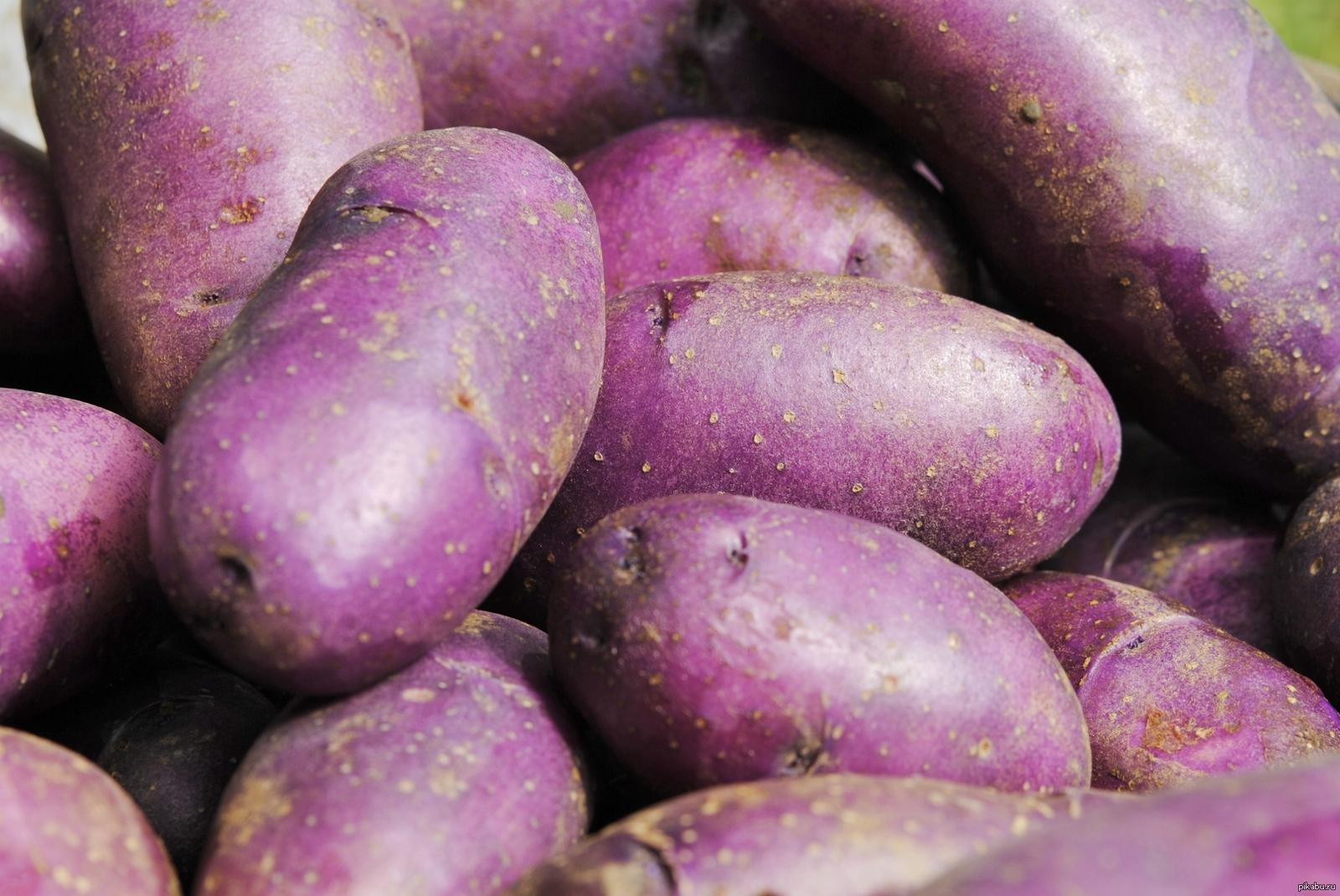 Сорта картофеля для средней полосы россии с фото и характеристикой