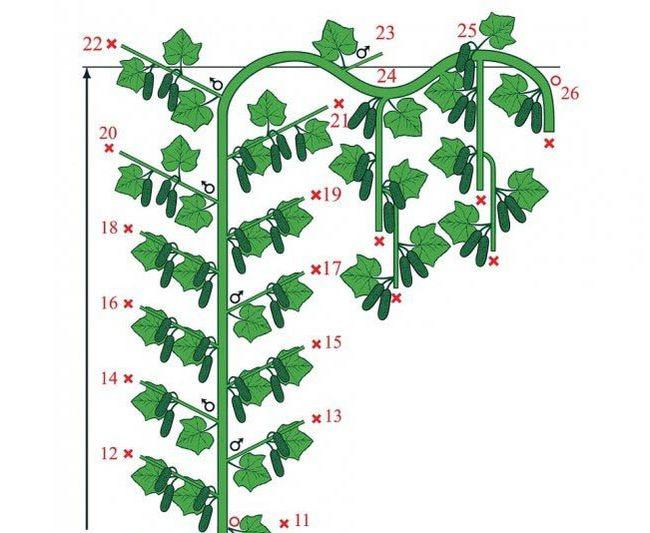 Формирование, посадка, выращивание и уход за дыней в теплице - всё про сады