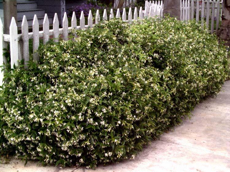 Жасмин (садовый): 105 фото и видео выращивания чубушника в саду