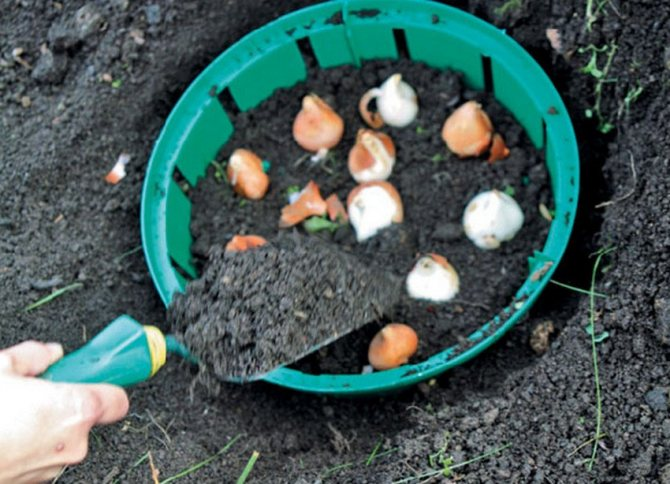Луковицы тюльпанов — как хранить и когда сажать в домашних условиях 2021 года