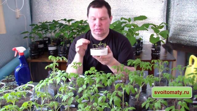 Описание метода пикировки томатов по ганичкиной - всё про сады